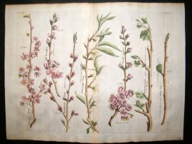 Langley 1729 LG Folio Hand Col Botanical Print. Plum, Peach, Apricot, Fig 8 & 9